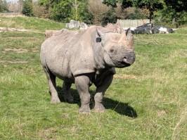 Rhinoceros 2