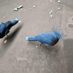 2 Crowned Pigeons!