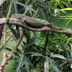 Lizard Boi
