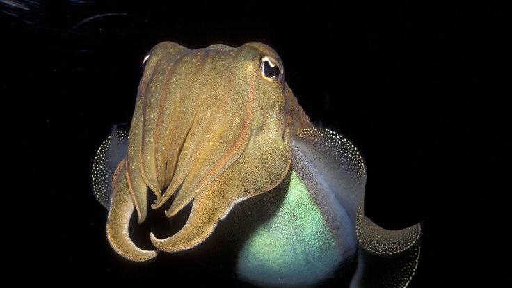 cuttlefish-1